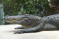 Alligator lying on stomach
