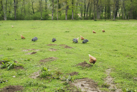 Chickens and guinea fowls pecking in a meadow