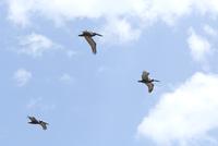 Pelicans in mid-flight