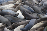 Large group of seals resting on beach