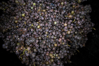 Grapes for wine making