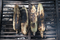 Grilling fresh corn on the cob