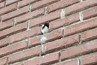 Bird perching in hole in brick wall