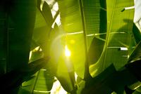 Sunlight shining through palm leaves