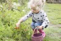 Little girl picking cherry tomatoes from vegetable garden