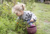 Little girl picking cherry tomatoes from vegetable garden 11001064154| 写真素材・ストックフォト・画像・イラスト素材|アマナイメージズ
