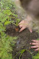 Child picking carrots from vegetable garden