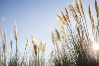 Pampas grass backlit by sun