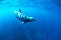 海を泳ぐバンドウイルカ