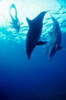 海中のバンドウイルカ