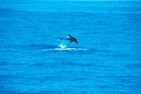 海中のタイセイヨウマダライルカ