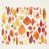 紅葉の葉 11002029073| 写真素材・ストックフォト・画像・イラスト素材|アマナイメージズ