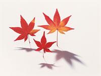 紅葉の葉 11002029088| 写真素材・ストックフォト・画像・イラスト素材|アマナイメージズ