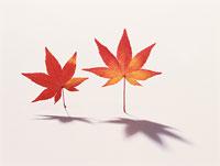 紅葉の葉 11002029089| 写真素材・ストックフォト・画像・イラスト素材|アマナイメージズ