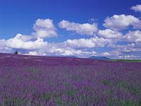 ラベンダー畑と青空