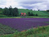 ラベンダー畑と家