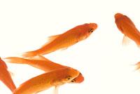 金魚(和金)