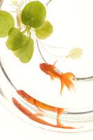 金魚(琉金)