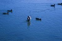 大沢の池の鴨