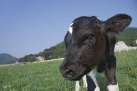 子牛(ホルスタイン)の顔