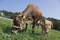 牛(ジャージー)の親子