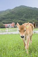 牧場の子牛(ジャージー)