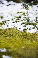 苔庭と雪 11002049934| 写真素材・ストックフォト・画像・イラスト素材|アマナイメージズ