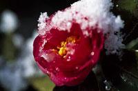 雪の日の寒椿 11002052768| 写真素材・ストックフォト・画像・イラスト素材|アマナイメージズ