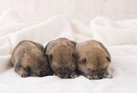 毛布の上で眠る柴犬の子ども