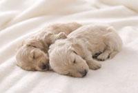 毛布の上で眠るミニチュアダックスフンドロングヘアード