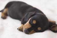 毛布の上で眠るミニチュアダックスフンドスムースヘアード
