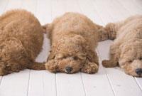 横一列に並んで眠るプードル