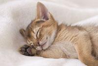 毛布の上で眠るアビシニアン