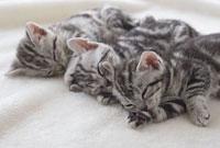 毛布の上で眠るアメリカンショートヘアー