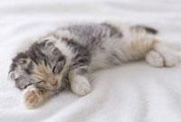 毛布の上で眠るスコティッシュフォールド 11002053029| 写真素材・ストックフォト・画像・イラスト素材|アマナイメージズ