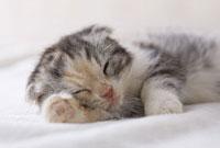 横になって眠るスコティッシュフォールド