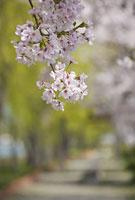 京都市内の桜 ソメイヨシノ