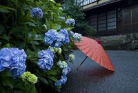 アジサイと和傘