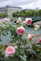 セーヌ川沿いに咲くバラ