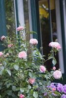 パリの街角に咲くバラ