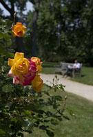 パリの公園に咲くバラ