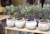 パリの花屋のオリーブの鉢植え
