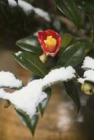 雪とツバキ 11002053579| 写真素材・ストックフォト・画像・イラスト素材|アマナイメージズ