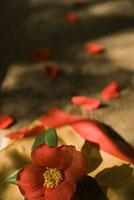袱紗とツバキ 11002053617| 写真素材・ストックフォト・画像・イラスト素材|アマナイメージズ