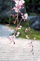 枝垂れ桜と庭