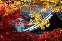 紅葉と瓦屋根 11002054038| 写真素材・ストックフォト・画像・イラスト素材|アマナイメージズ