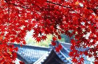 紅葉と瓦屋根 11002054039| 写真素材・ストックフォト・画像・イラスト素材|アマナイメージズ