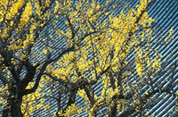 イチョウと瓦屋根 11002054042| 写真素材・ストックフォト・画像・イラスト素材|アマナイメージズ
