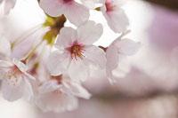 サクラ 11002054330| 写真素材・ストックフォト・画像・イラスト素材|アマナイメージズ
