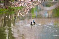 池を泳ぐ二羽の鴨とサクラ